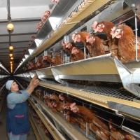 Птицефабрика в селе Сосновка обещает накормить омичей бройлерами