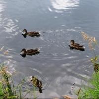 Дикие утки выбрали другое озеро на территории Омска