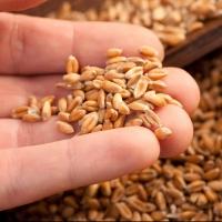 В Ленинградской области будут делать хлеб из омского зерна