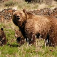 В Омской области продлили сезон охоты, чтобы напугать медведей