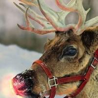 На новогодний праздник в Омск привезут собак, оленей и яка