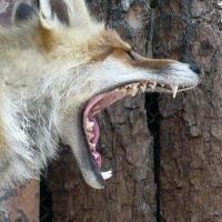 Карантин по бешенству у животных ввели в Одесском районе Омской области