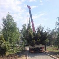 Компенсаторное озеленение в Омске требует крупномерных саженцев