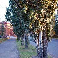 В Омске планируют высадить тополя