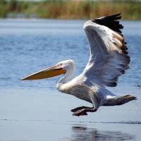 Кудрявые пеликаны селятся парами в трех районах Омской области