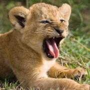 В Большереченский зоопарк приехала львица