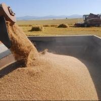 Омское зерно нуждается в сушке