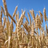 Омская область получит 98 миллионов рублей из федерального бюджета на сельское хозяйство