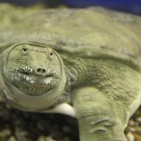 Омскую черепаху Матильду покажут по федеральному каналу