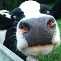 В Омской области доить коров будут по шведской технологии