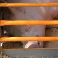 В Омской области под суд пойдут два человека, скормившие фермера свиньям