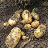 Снижение трудозатрат при выращивании картофеля