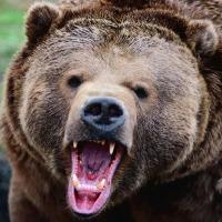 Жители деревни Юдинка пожаловались в «ЧП Омск» на медведей