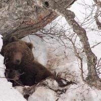 Ранняя весна выгнала бурого медведя из берлоги