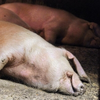 Основной причиной распространения африканской чумы свиней назвали халатность фермеров
