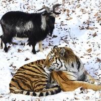 Уникальная история тигра Амура и козла Тимура обрастает подробностями