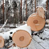 Экс-сотрудницу «Омского лесхоза» осудят за сотню берез