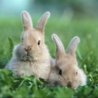 Омским кроликам угрожает миксоматоз