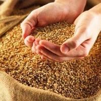 В Омской области собрали 1 миллион тонн зерна