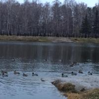 Омичей беспокоят перекормленные утки в парке