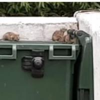 На помойках Омска появились крысы