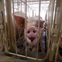 Пострадавшие от АЧС омские фермеры получили 136,6 млн рублей