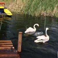 Для пары лебедей обустроили озеро в главном омском парке