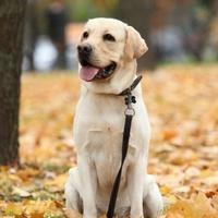 Лабрадор — собака с золотым характером