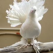 В Омске проверят лётные качества голубей