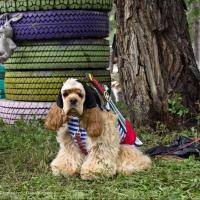 Выставка собак «Крутой дворянин-2017» пройдет в Омске в конце июля