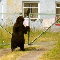 В Омской области медведи начали выходить к людям