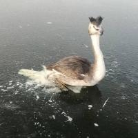 Омичи спасли вмерзшую в лед птицу