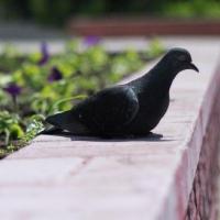Омские ветеринары спасли раненого голубя