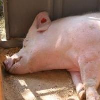 Из карантинного Омского района вывозили свинину на продажу
