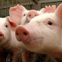 Омичей оштрафовали за гуляющих свиней