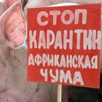 Из-за чумы свиней в Омск приедет представитель федерального Россельхознадзора