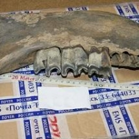 Омич отправлял по почте за границу кости мамонтов