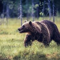 В Омской области умертвили двух медведей, нападавших на людей и скот