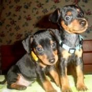 Цвергпинчер – яркий представитель миниатюрных собак