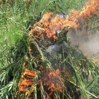 В Омской области истребляю дикорастущие наркосодержащие растения