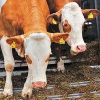 Из Омской области в Казахстан пытались незаконно провести 48 коров