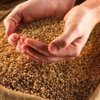 Омское зерно – одна пятая всех запасов России
