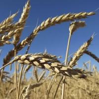 Омская область на восьмом месте в России по валовому сбору зерна