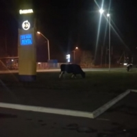 Возле «Ленты» на Красноярском тракте Омска пасутся коровы