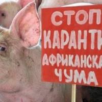 Омских фермеров обвинили в распространении африканской чумы свиней