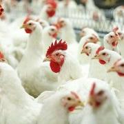 В Омской области скрестят кур и свиней