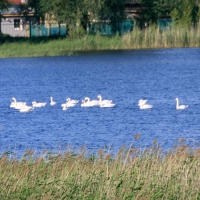 Вслед за стаей лебедей-кликунов Омск посетили краснокнижные лебеди-шипуны