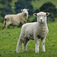 Британские ученые установят на овец точки доступа Wi-Fi