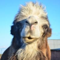 Омичка предупредила о кусающемся верблюде на страусиной ферме