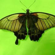 Филиппинские бабочки долетели до Омска